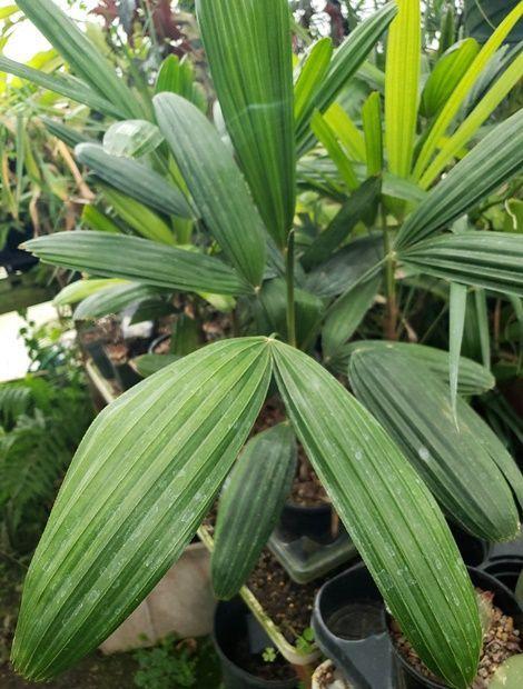 Miniature Lady Palm, Bamboo Palm