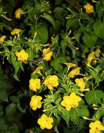 Yellow Four O'Clock, Marvel of Peru, Beauty of the Night