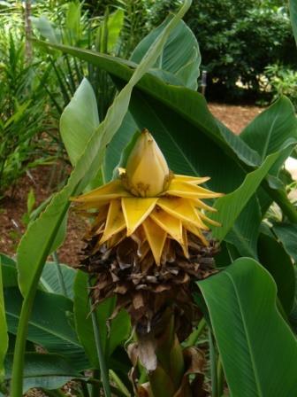 Golden Lotus Banana, Chinese Yellow Banana