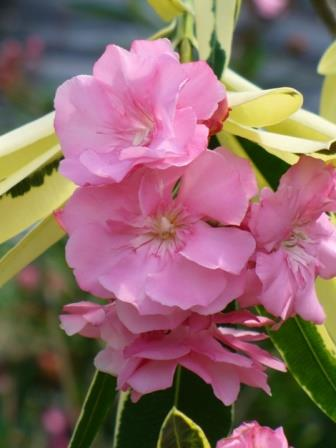 Variegated Double Pink Oleander, Mrs. Runge Oleander