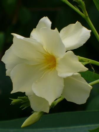 Mathilde Ferrier Oleander, Hardy Double Yellow Oleander