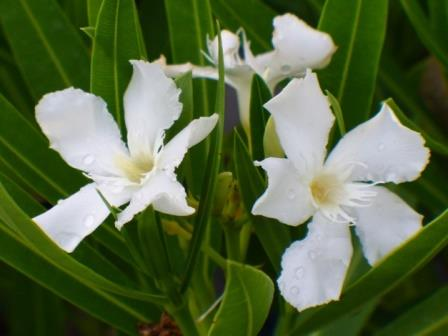 White Sands Dwarf Oleander Fragrant Plants Almost Eden