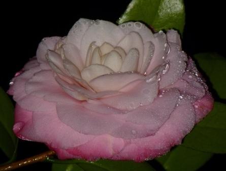 Nuccio's Pearl Camellia