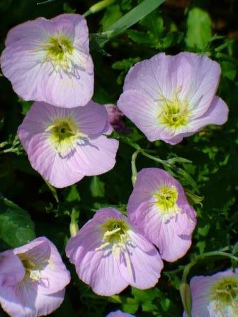 Pink Evening Primrose, Pink Ladies, Pink Buttercups, Showy Evening Primrose, Mexican Evening Primrose, White Evening Primrose