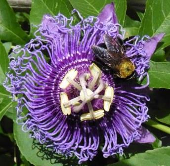 Inspiration Passion Flower, Passionvine