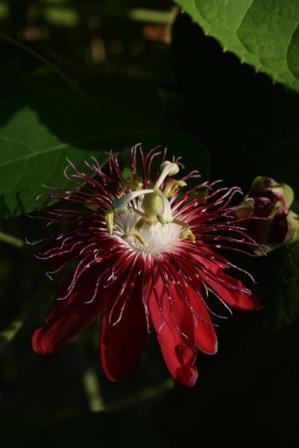 Lady Margaret Passion Flower, Passionvine