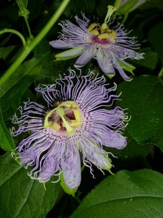 May Pop Passion Flower, Passion Vine, Passionflower