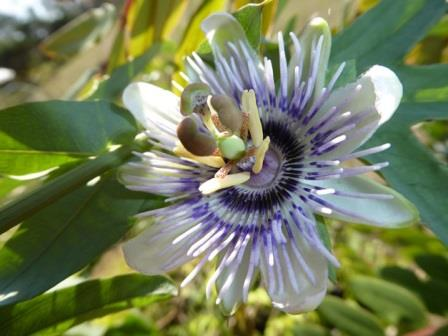 How-How, White-Leafed Passionflower, Passion Vine, Passionfruit