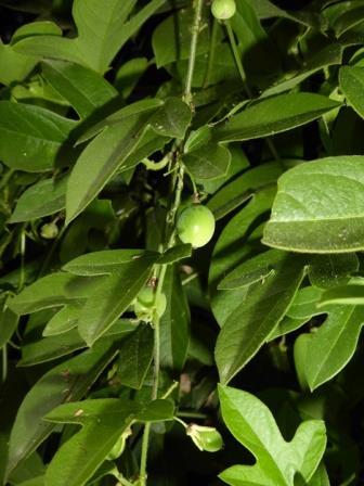 Corkystem Passionflower, Passionvine