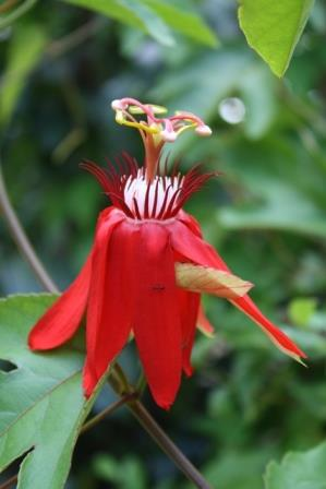 Red Passion Flower, Perfumed Passion Flower, Grape-Leaf Passionvine