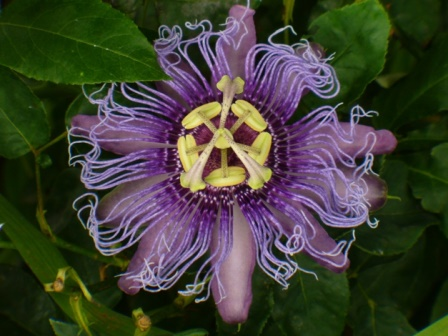 Incense Passionflower, Passionvine