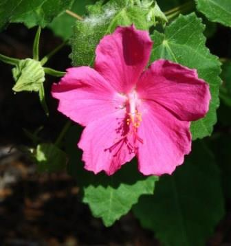 Rose Pavonia, Texas Rockrose, Wright Pavonia