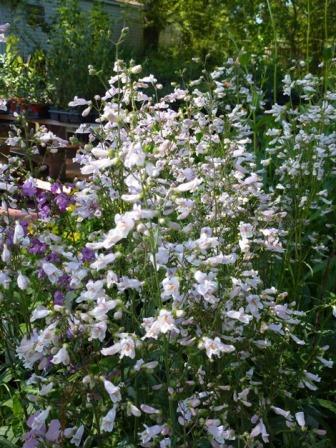Nodding Penstemon, Loose Flowered Penstemon, Beardtongue