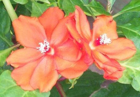 Orange Rose Cactus, Leaf Cactus, Wax Rose, Seven Star Needle
