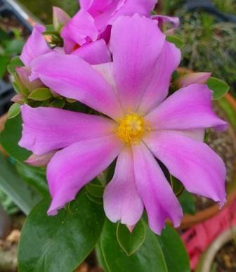 Pink Rose Cactus