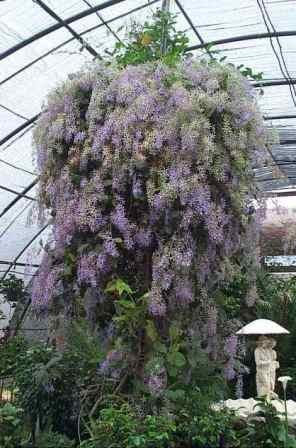 Queen's Wreath, Sandpaper Vine, Blue Petrea, Purple Wreath, Wisteria