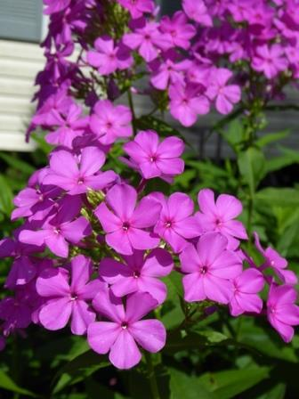 Robert Poore Garden Phlox, Summer Border Phlox, Fall Phlox
