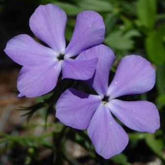 Blue Moon Phlox, Woodland Phlox, Wild Sweet William, Wild Blue Phlox