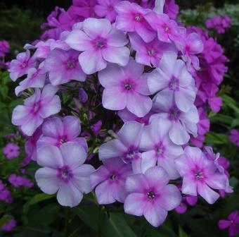 John Fanick Garden Phlox, Summer Border Phlox, Fall Phlox