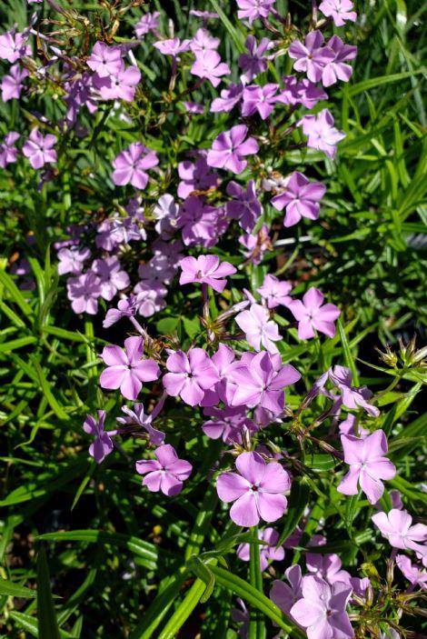 Alyissa's Purple Prairie Phlox, Savanna Phlox, Downy Phlox