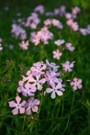 Bonnie's Pink Prairie Phlox, Savanna Phlox, Downy Phlox