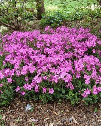 Home Fires Creeping Phlox