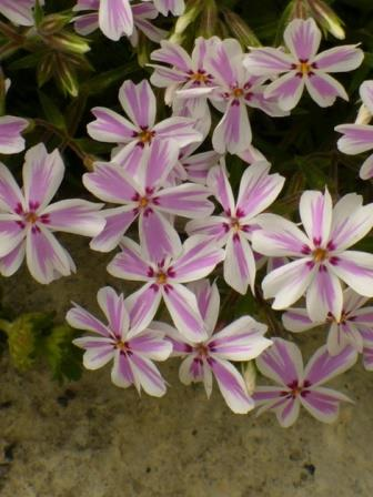 Candy Stripe Creeping Phlox, Moss Phlox, Thrift
