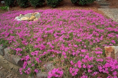 Crimson Beauty Creeping Phlox, Moss Phlox, Thrift