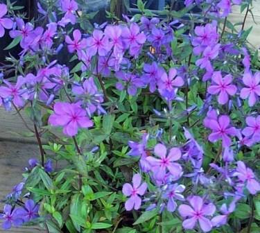 Louisiana Blue Phlox, Woodland Phlox, Wild Sweet William, Wild Blue Phlox
