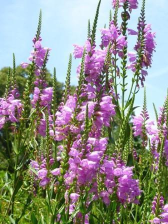 Correll's False Dragonhead, Obedient Plant