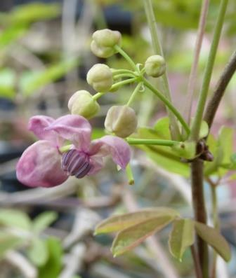 Pink Five-leaf Akebia, Chocolate Vine