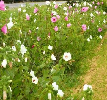 Pink Flowered Crimson-Eyed Rosemallow, Swamp Mallow