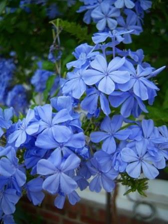 Imperial Blue Plumbago, Cape Leadwort