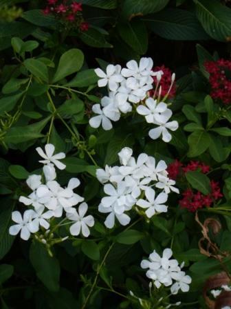 White Plumbago Cape Leadwort Tropical Plants Almost Eden