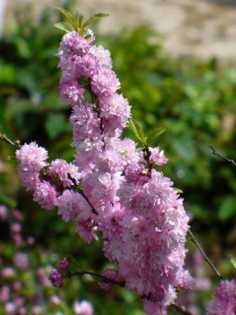 Dwarf Double Pink Flowering Almond