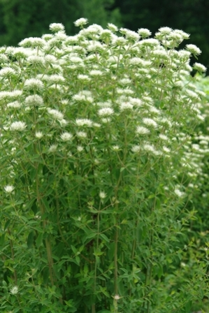 Appalachian Mountainmint, Savanna Mountainmint
