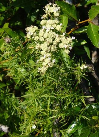 Narrow-Leaved Mountainmint, Slender Mountain Mint