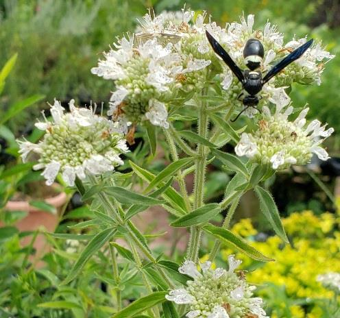 Hairy Mountainmint