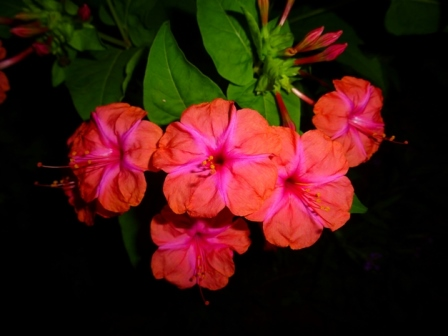 Red Four O Clock Marvel Of Peru Beauty Of The Night Fragrant