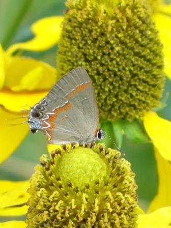 Herbstonne or Autumn Sun Green Eyed Coneflower, Shining Coneflower
