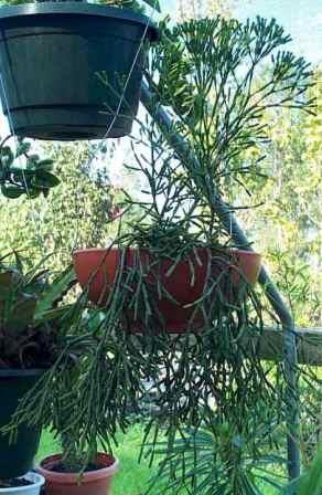 Drunkards Dream Mistletoe Cactus, Dancing Bones