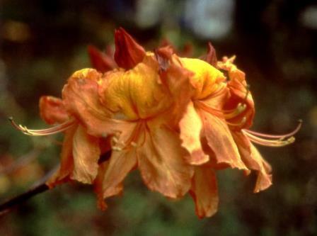 Aromi's Southern Sunset Deciduous Azalea