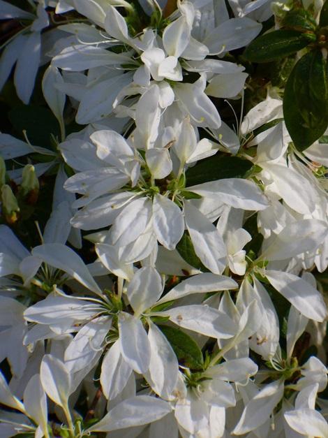 White Spider Azalea, Koromo White Azalea