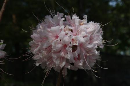 Aromi's Spring Sensation Deciduous Azalea