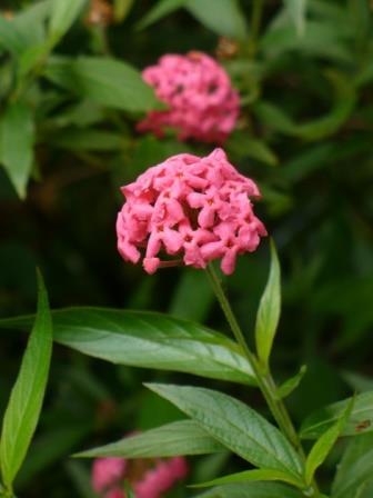Pink Bush Penta, Fragrant Pink Panama Rose
