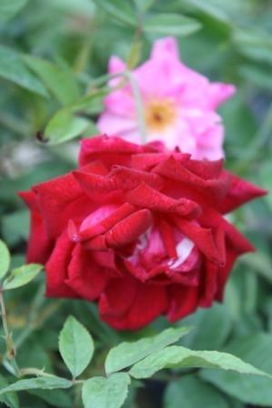 Craimoisi Superieur Rose