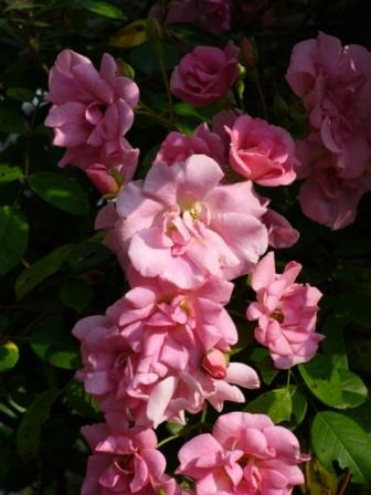 Climbing Pinkie Rose