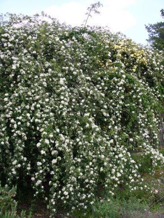Snowflake White Lady Banks' Rose, Banksia Rose