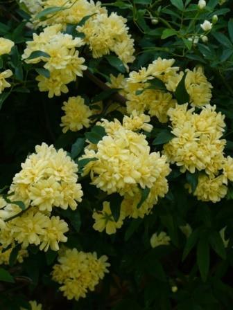 Yellow Lady Banks Rose Banksia Rose Shrubs Amp Trees