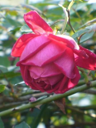 Climbing Craimoisi Superieur Rose